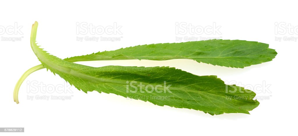 two long coriander leaves isolated white stock photo