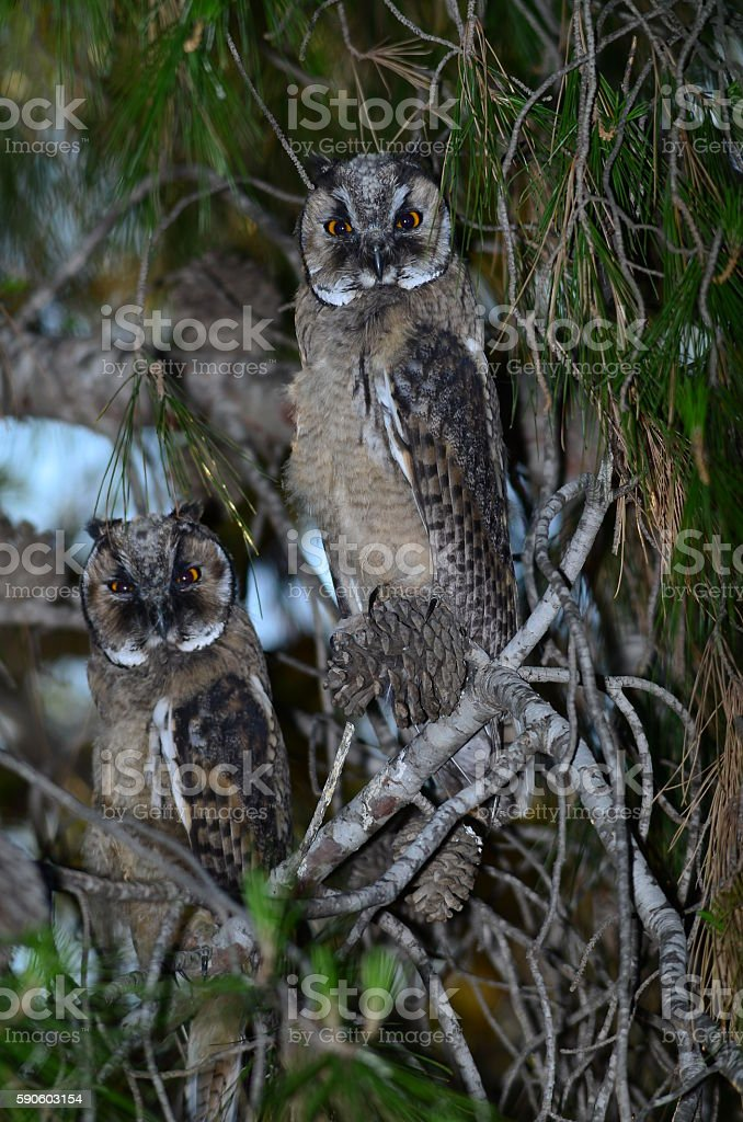 Two Long-eared Owls resting in a pine tree stock photo