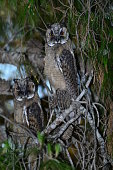 Two Long-eared Owls resting in a pine tree