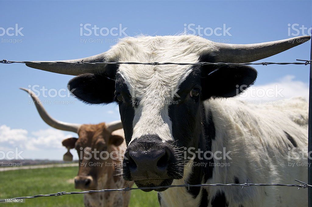 Two Longhorn Cows royalty-free stock photo