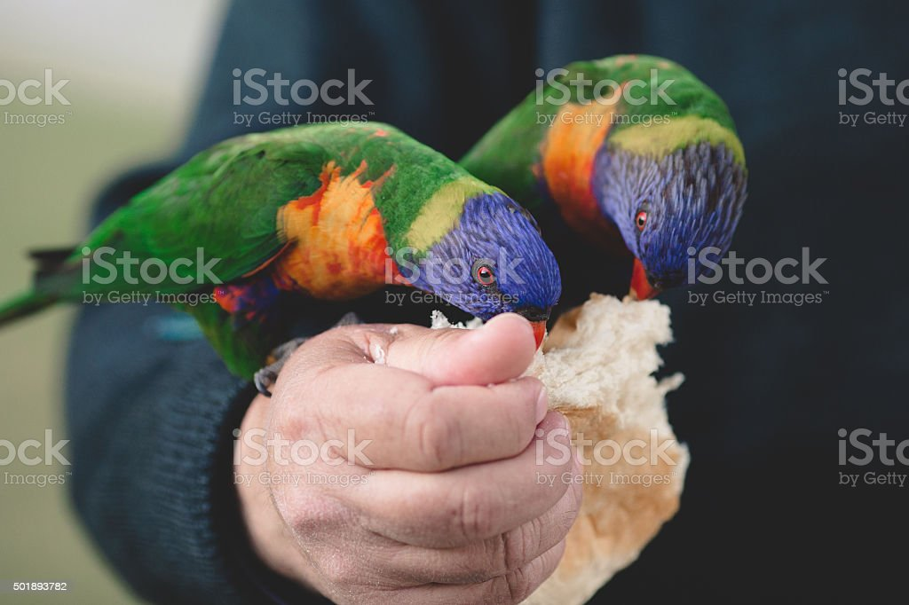 Two lorikeets eating bread stock photo