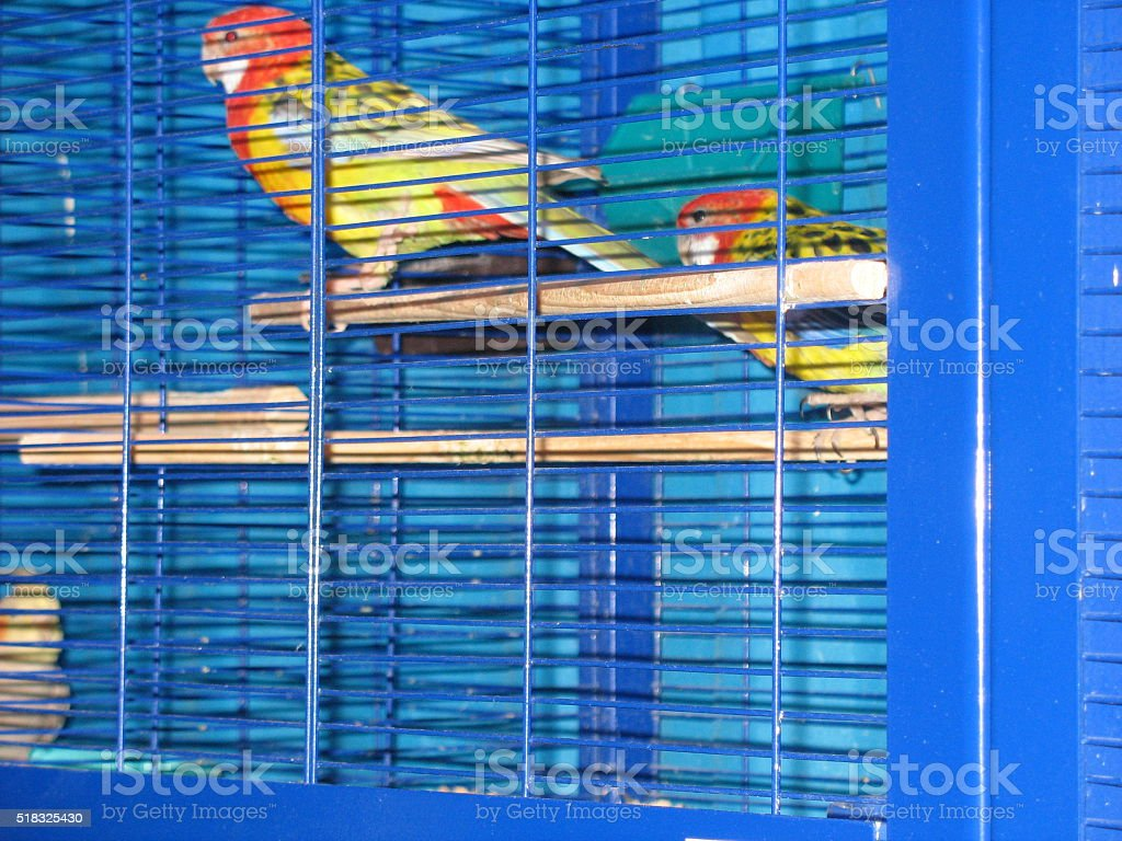 Two lovebird sitting in a cage stock photo