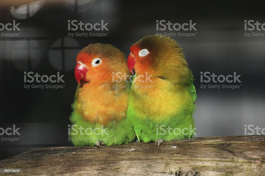 Two Lovebirds Close Together stock photo