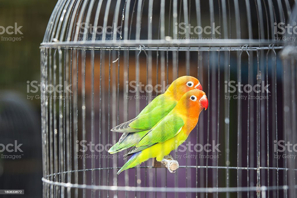 Two Lovebirds in a cage stock photo