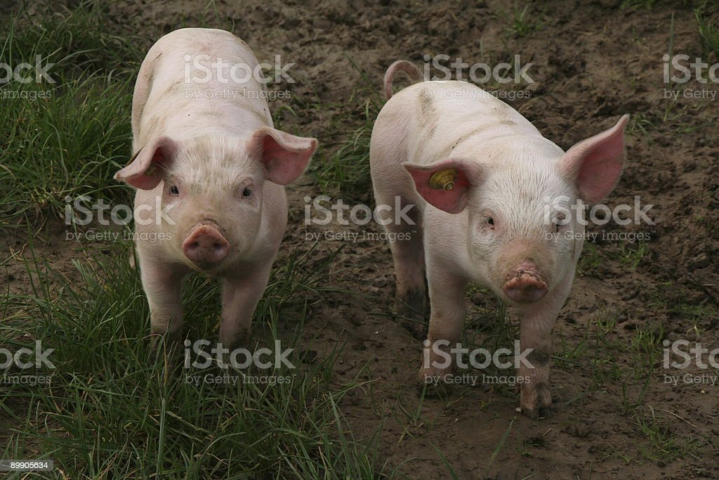 Two lovely little baby pigs # 1 royalty-free stock photo