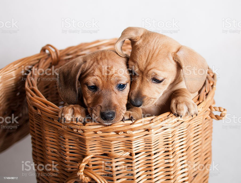 Two lovely puppies royalty-free stock photo