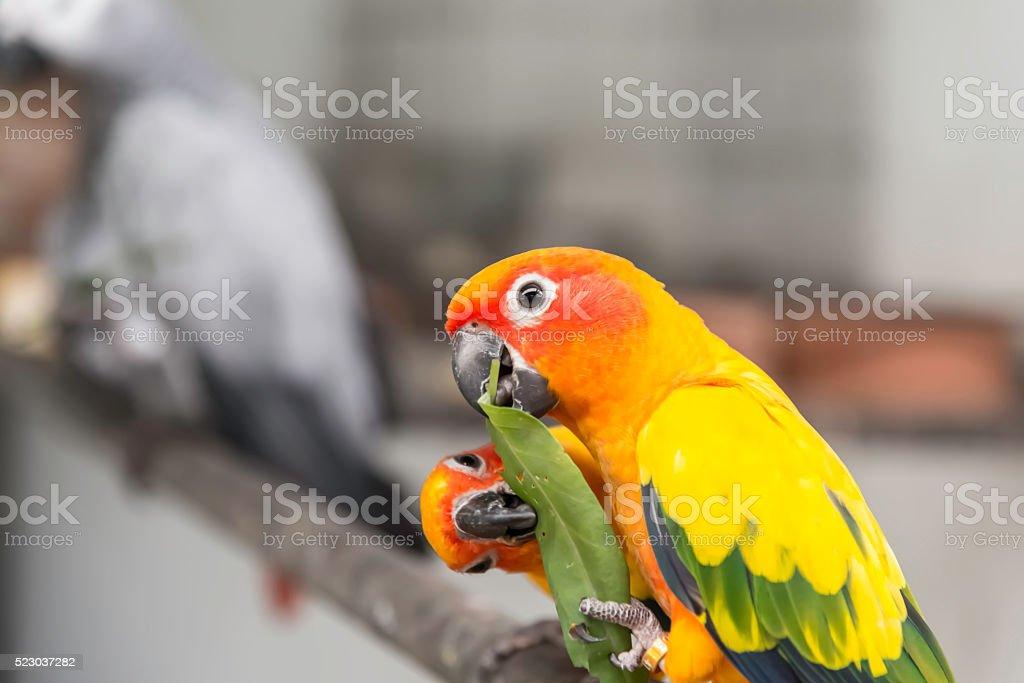 Two lovely sun conure parrots bird eat food stock photo