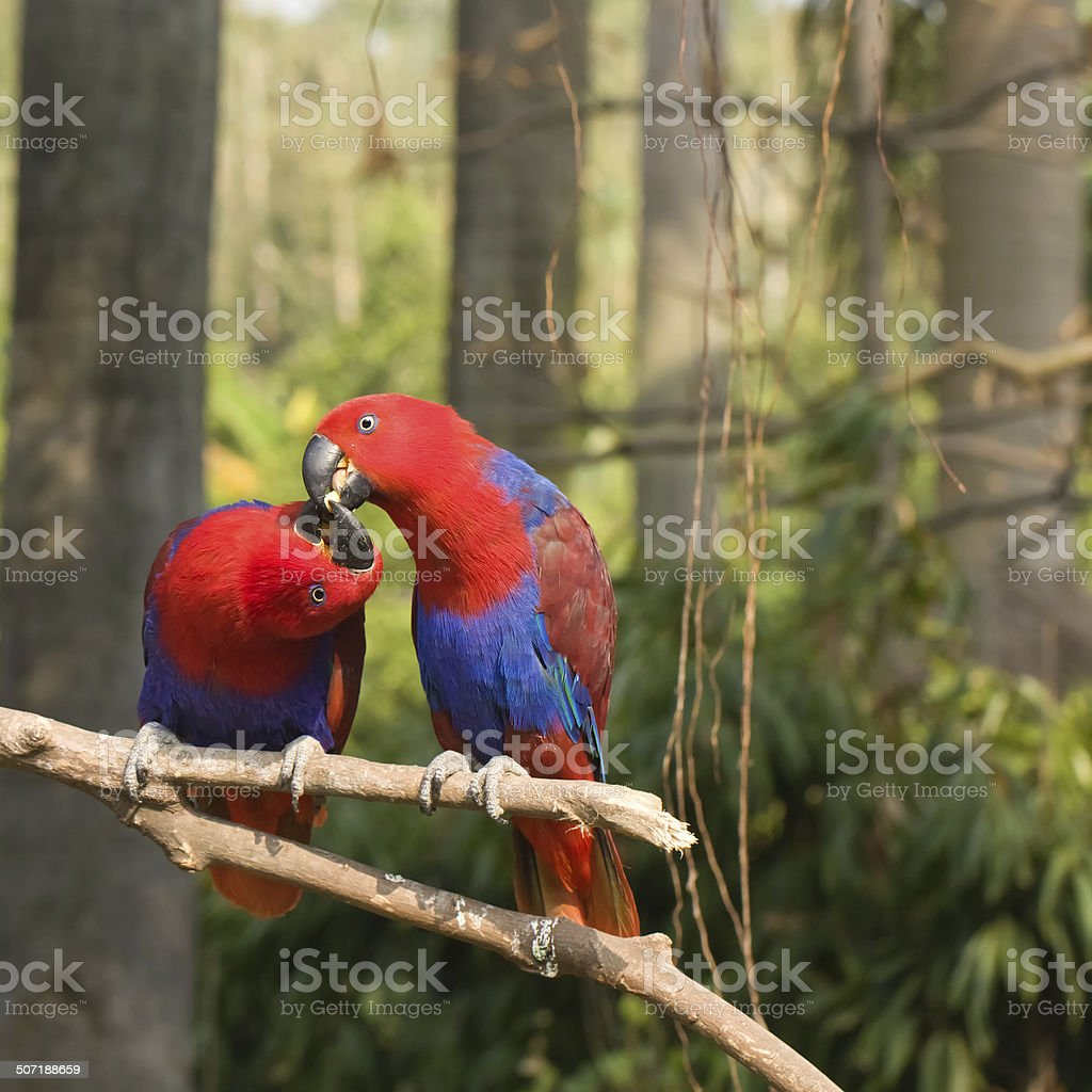 two lover parrots kiss on the tree royalty-free stock photo