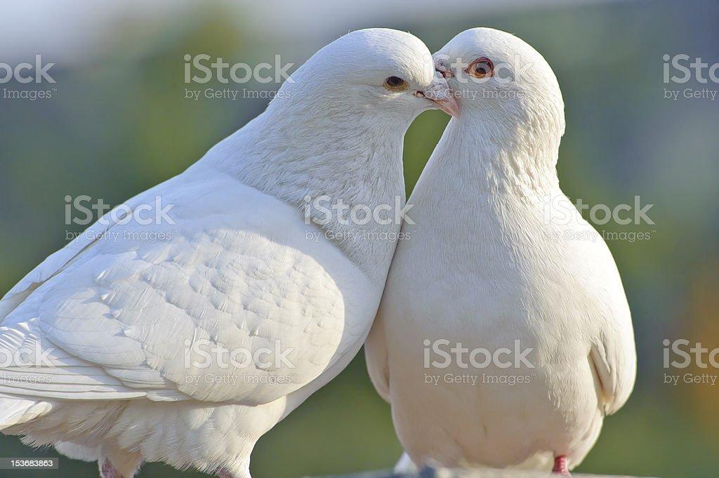 two loving white doves stock photo