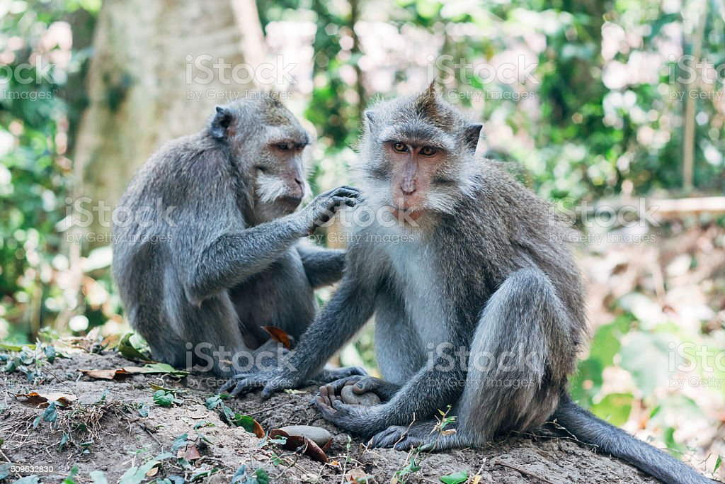 Two Macaque monkeys grooming or nit picking in Ubud, Bali stock photo