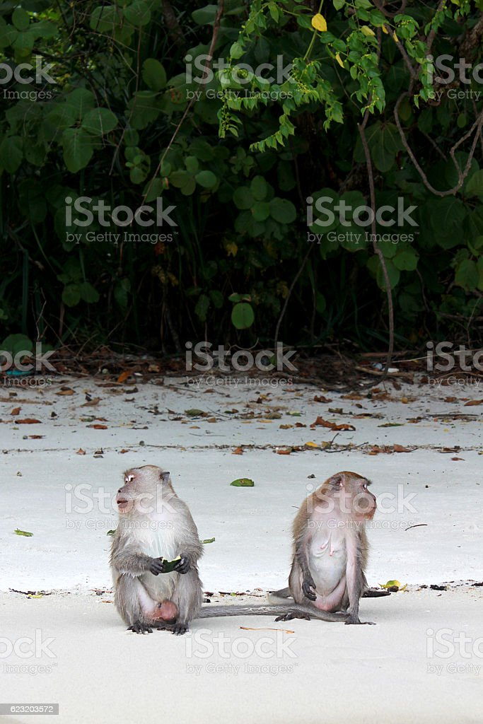 Two Macaques monkey. stock photo