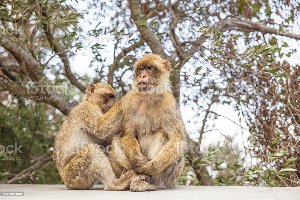 Two Macaques on the Gibraltar rock. stock photo