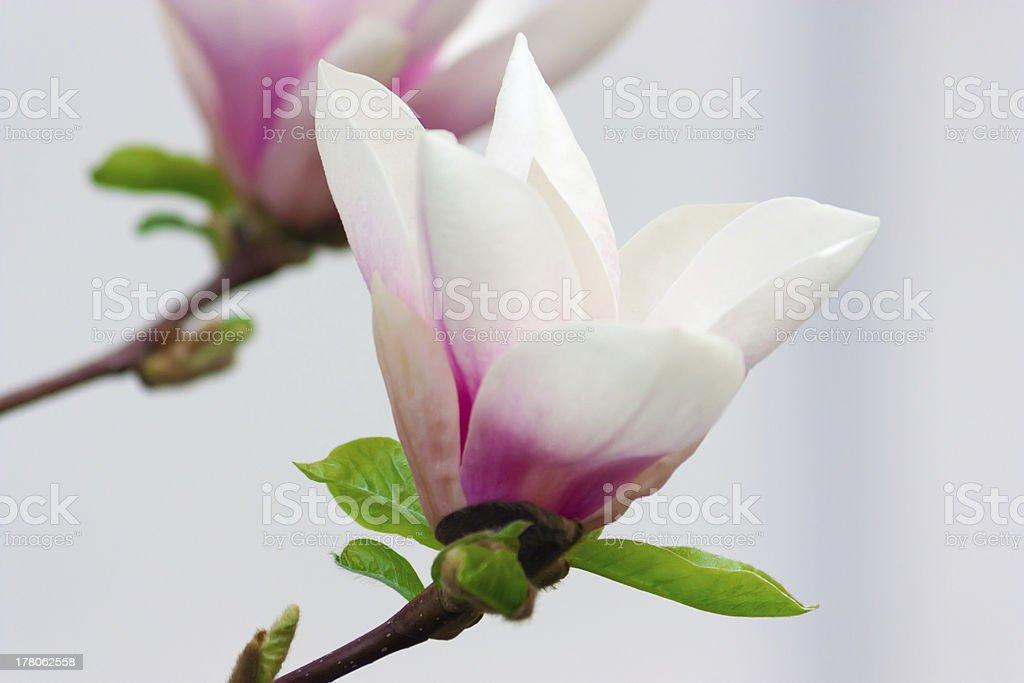 Two Magnolia royalty-free stock photo