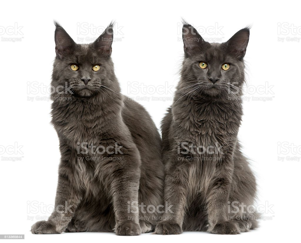 Two Maine Coons in front of a white background stock photo