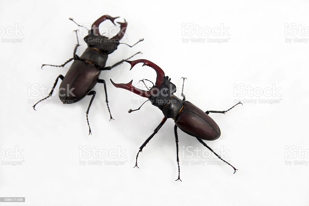 two male beetles deer on white background stock photo
