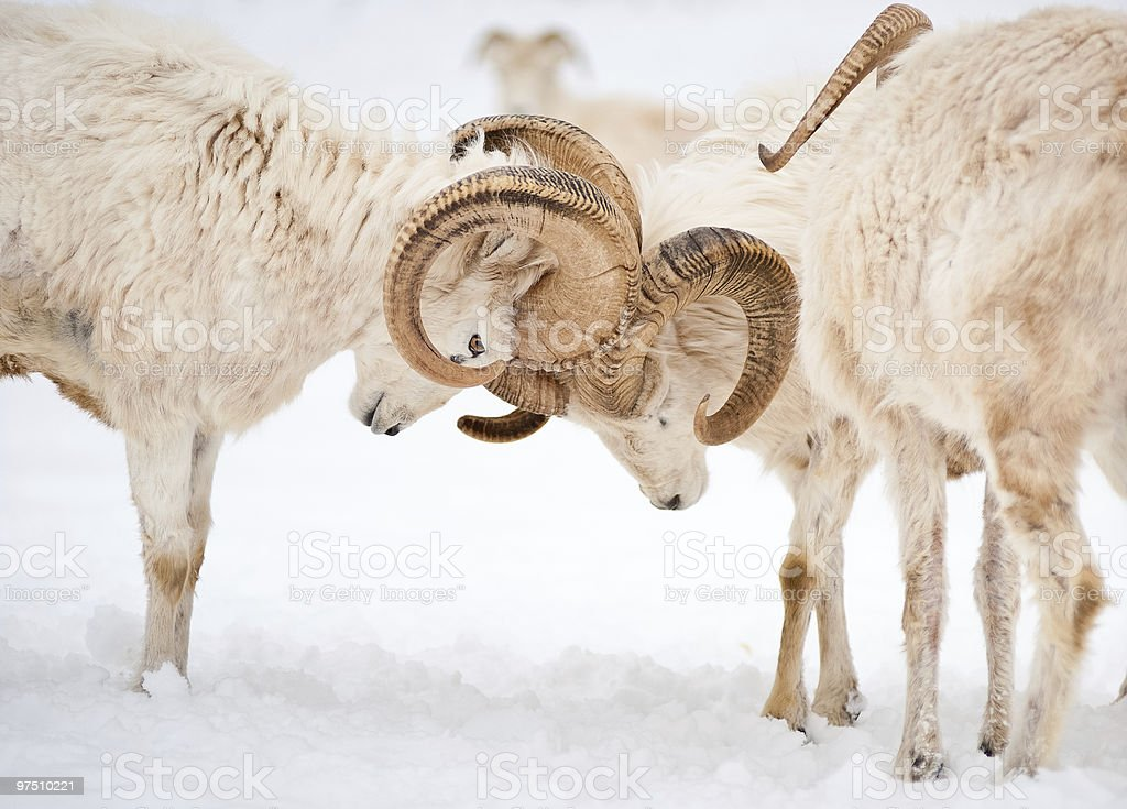 Two male Dall Sheep (Ovis Dalli) locking horns royalty-free stock photo