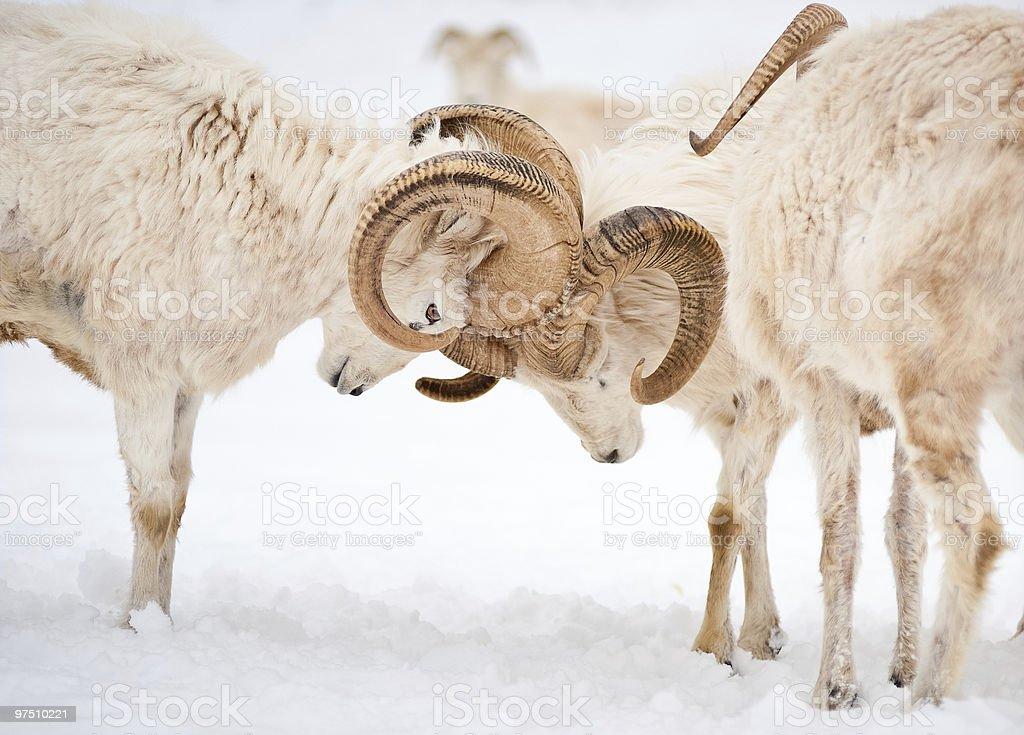 Two male Dall Sheep (Ovis Dalli) locking horns stock photo