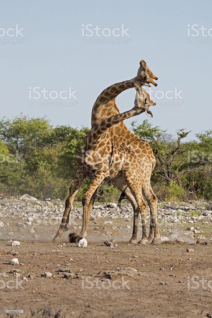 Two male Giraffes fighting royalty-free stock photo