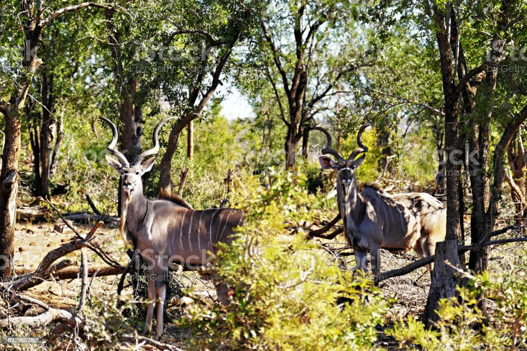 Two male Greater  Kudus in the Madikwe Game Reserve in South Africa stock photo