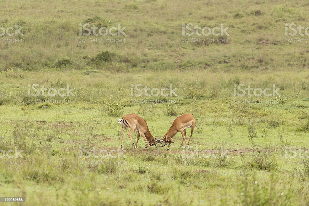 Two male impalas fighting royalty-free stock photo