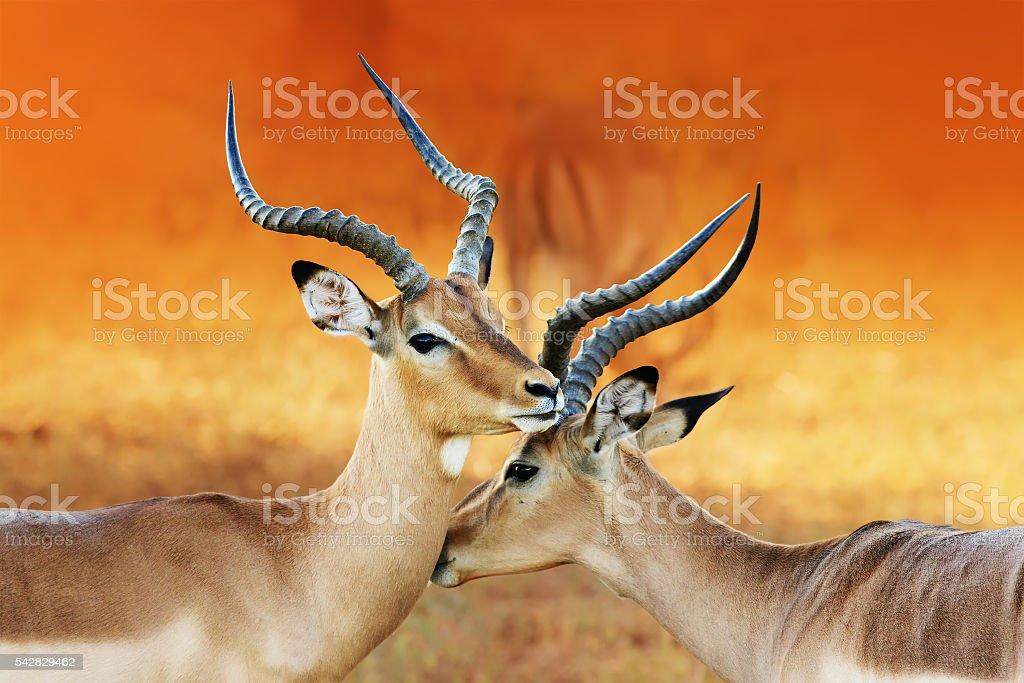 Two male impala's ( Aepyceros melampus ) stock photo