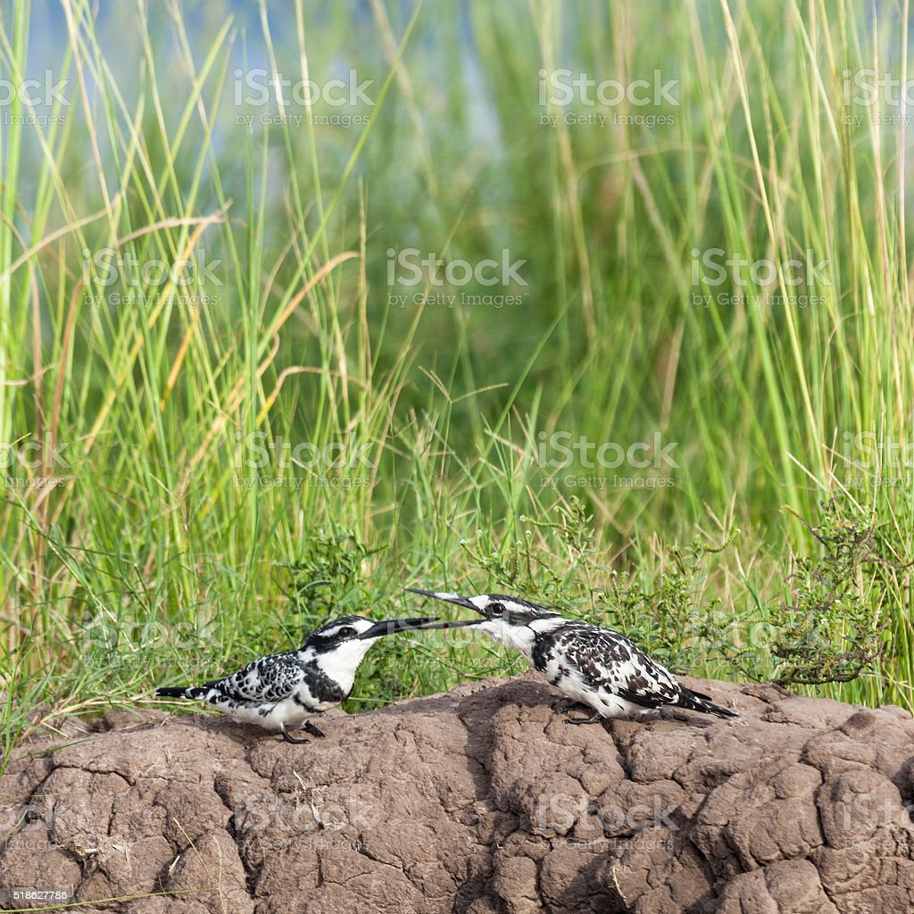Two male Pied Kingfishers, Ceryle rudis, Chobe N.P., Botswana, Africa stock photo