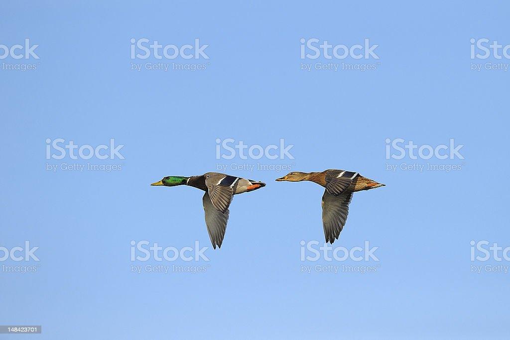 Two mallard ducks in flight royalty-free stock photo