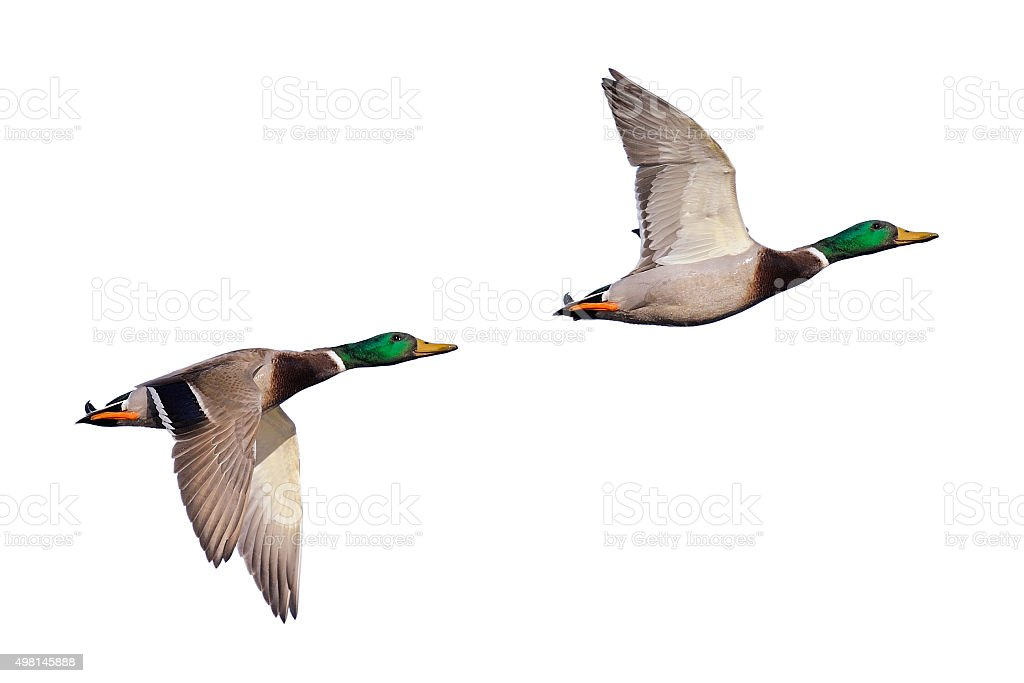 Two mallard ducks in flight stock photo