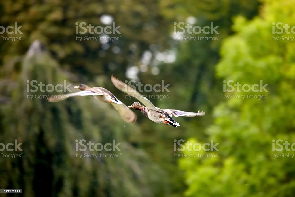 Two mallards flying over the pond royalty-free stock photo