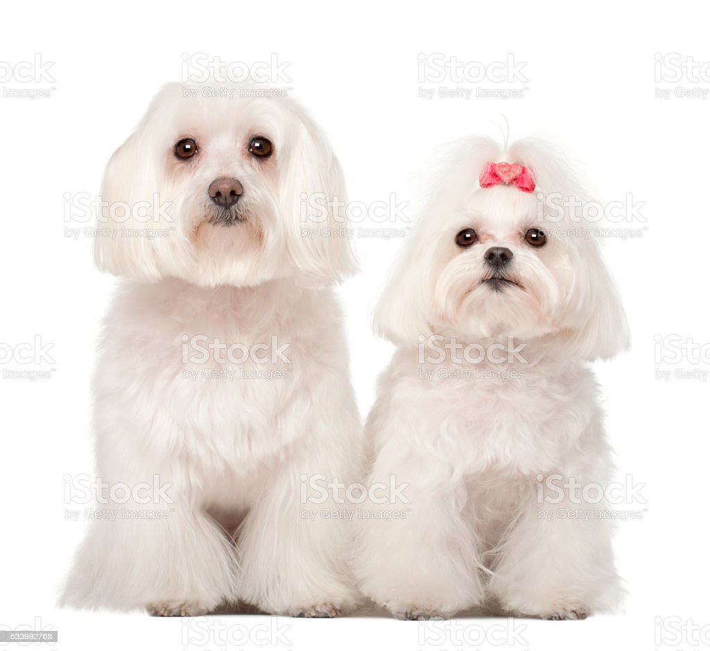 Two Maltese, 4 and 8 years old, standing stock photo