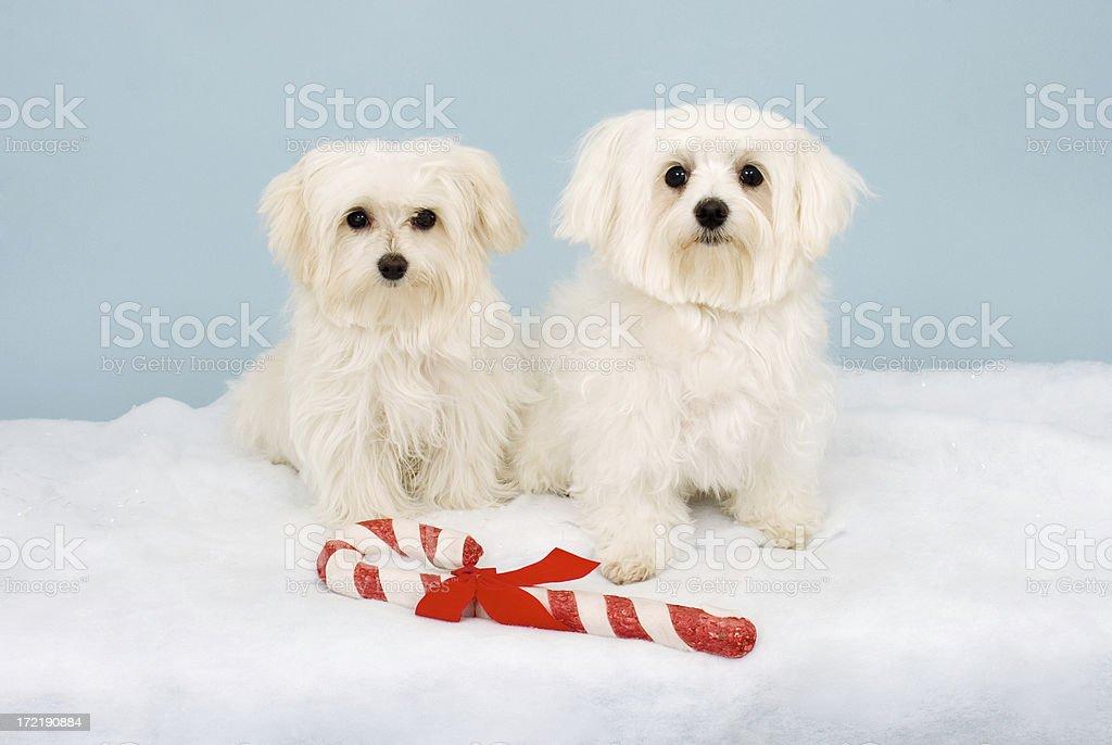 Two Maltese Dogs With Candy Cane stock photo