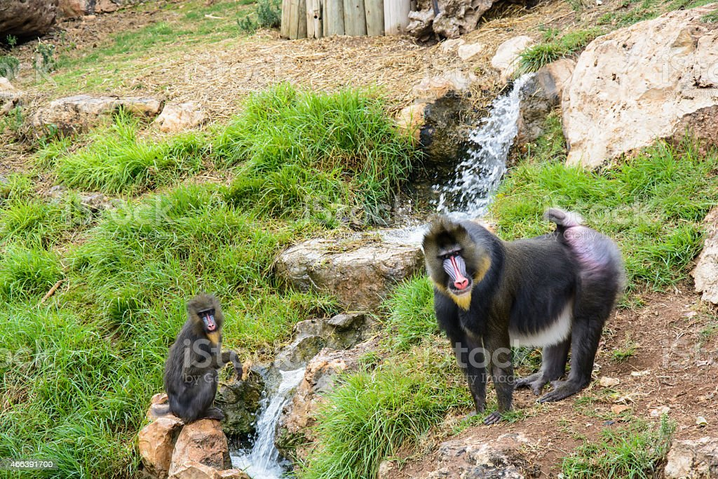 Two mandrill baboons stock photo