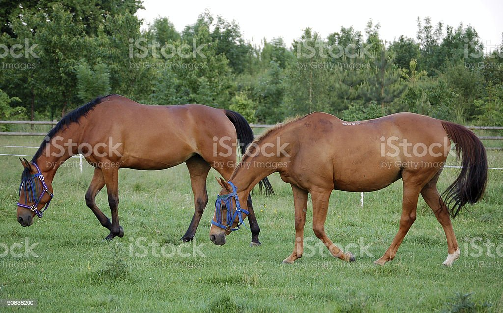 two mare horses stock photo