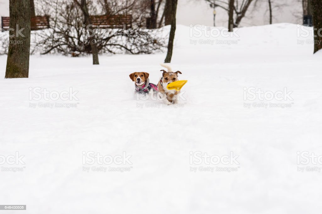 Two mates dogs playing and running together at public park stock photo