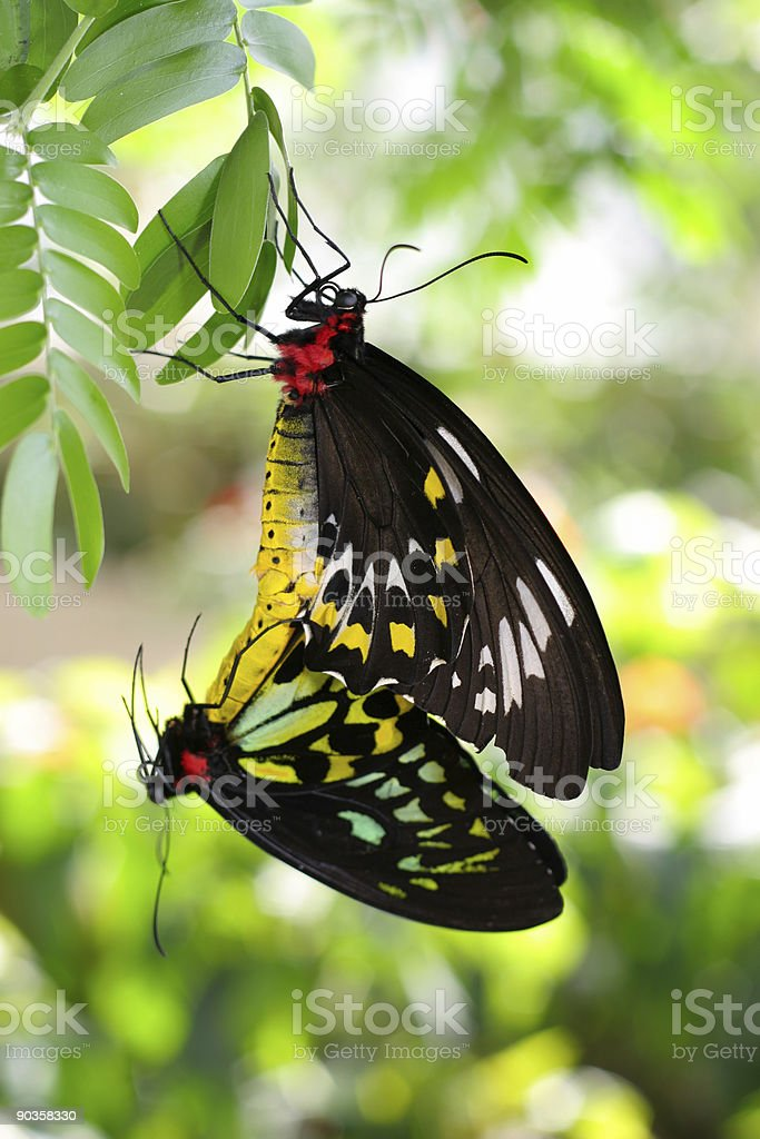 Two Mating Butterflies stock photo