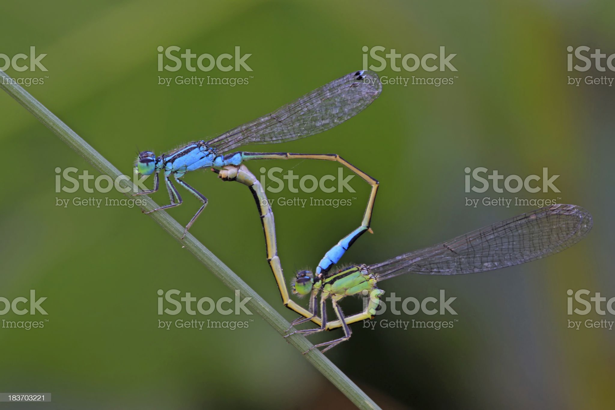 two mating damselflies royalty-free stock photo