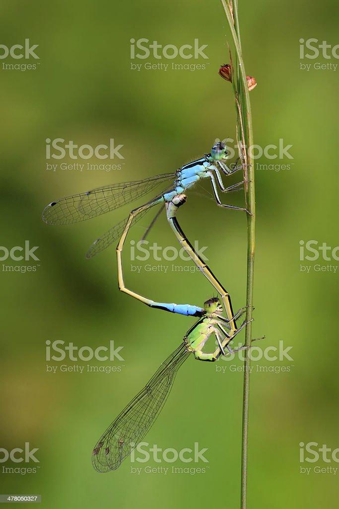 two mating damselflies royalty-free stock photo