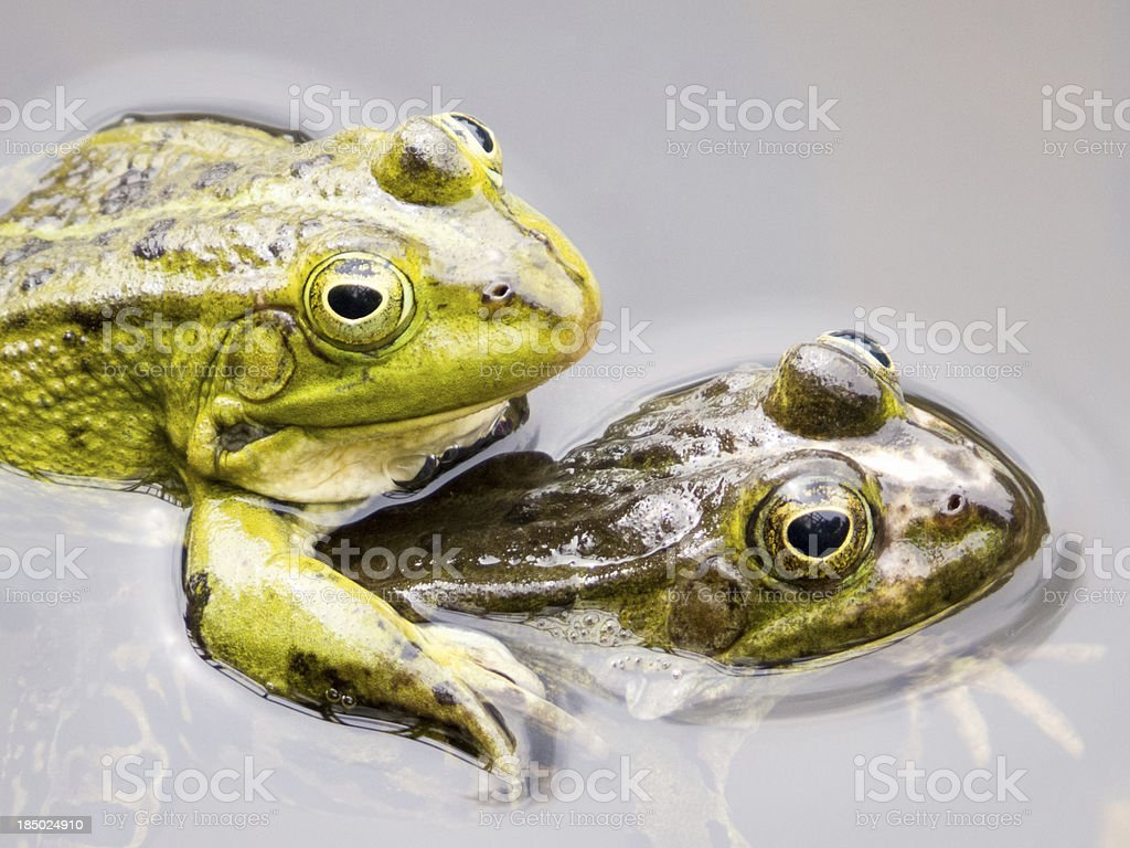 Two mating green frogs royalty-free stock photo
