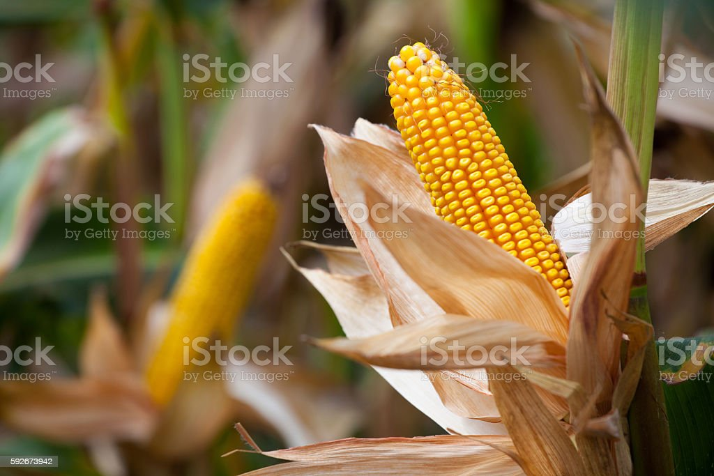 Two mature yellow cob of sweet corn on the field. stock photo