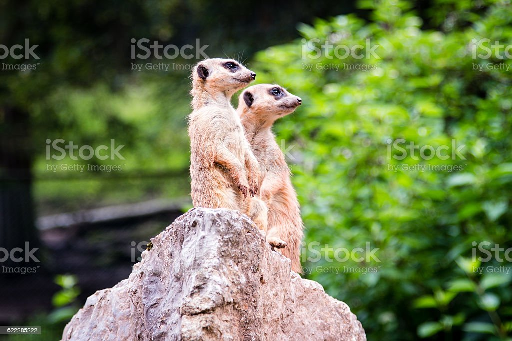 Two Meerkat standing on a rock stock photo