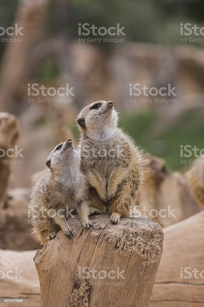 Two meerkats looking up royalty-free stock photo