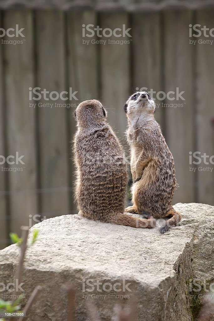 Two meerkats on guard royalty-free stock photo