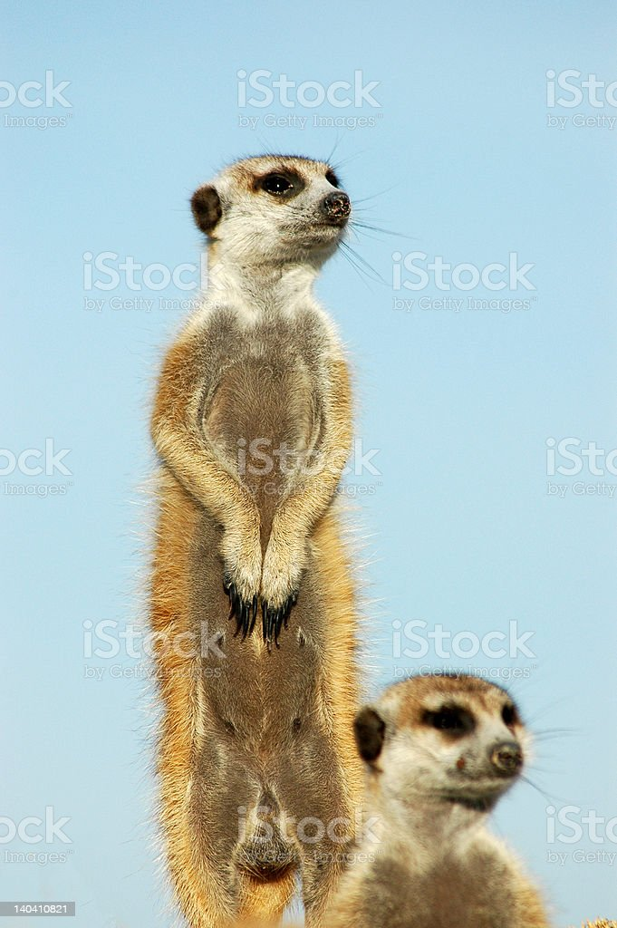 Two Meerkats royalty-free stock photo