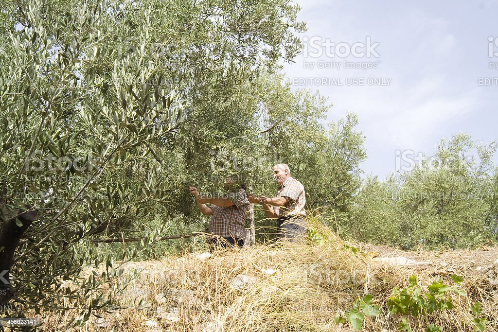 Two Men Picking Olives, Italy royalty-free stock photo