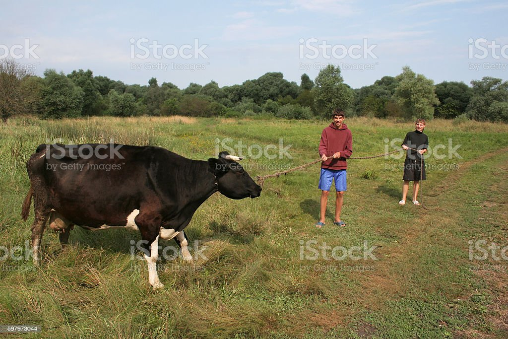Two men pull cattle by rope to slaughterhouse, butchery. Shepher stock photo
