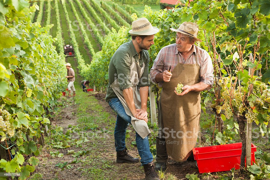 Two Men working in vineyard stock photo