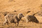 two merino sheep grazing on dry grass