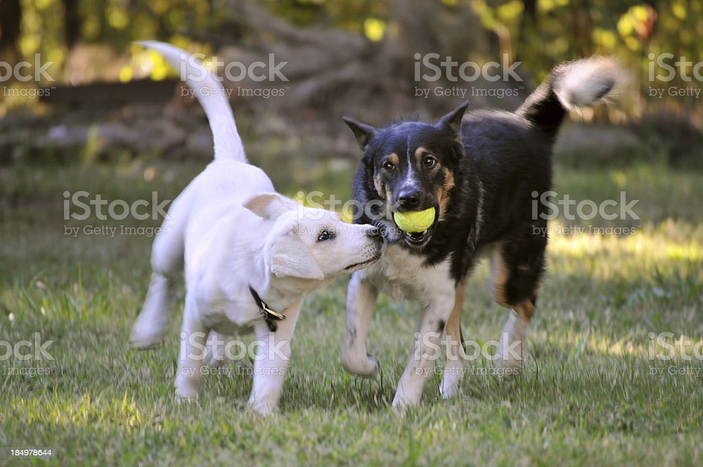 Two Mixed Breed Dogs Playing with a Tennis Ball Outside royalty-free stock photo
