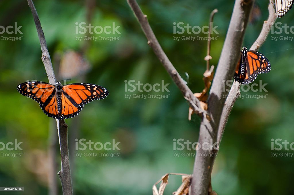 Two Monarchs Basking on a Tree Branch stock photo