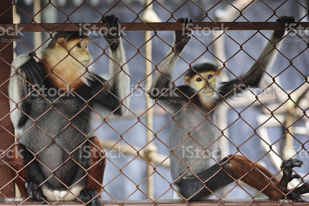 Two monkey in cage stock photo